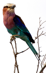 Selous Lilac Breasted Roller
