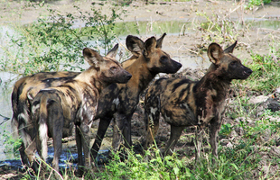 Selous Wild Dogs3