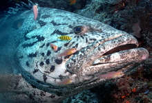 Grouper High