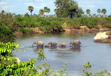 Selous Elephants2