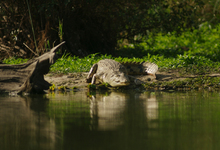 Lake Manze Crocodile2w
