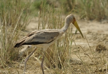 Ug Yellow Billed Stork 4315