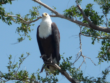 Lake Manze Fish Eagle June2011w