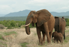 Ruaha Elephants Rains2