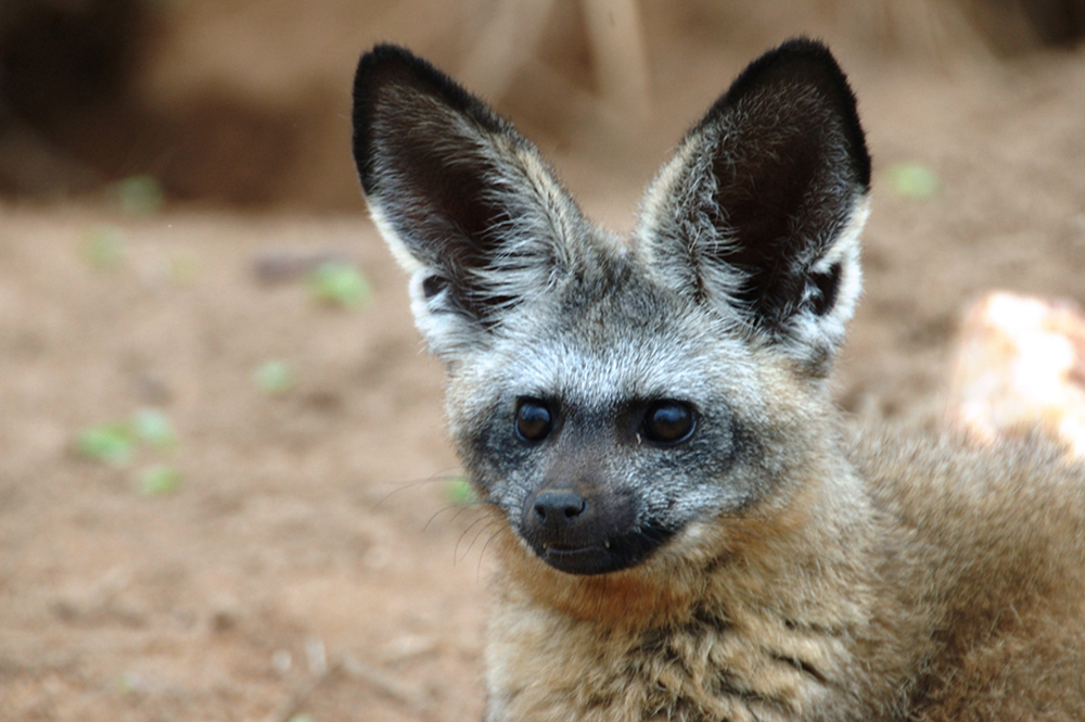 Bat-Eared_Fox
