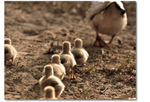 Pdo Ducklings Pic18