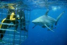 Za Shark Cage Diving 03